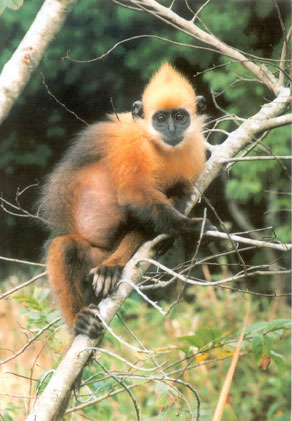 Golden-Maned Langur