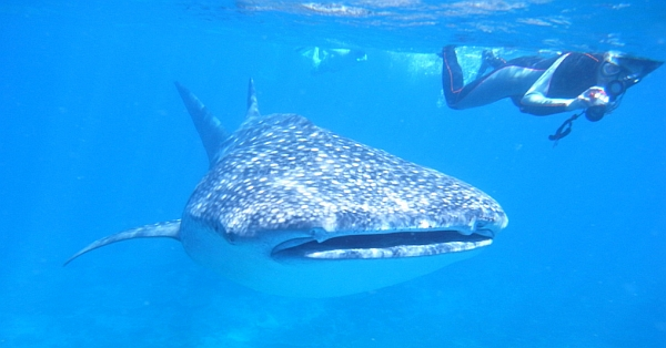 Philippines snorkeling whale shark