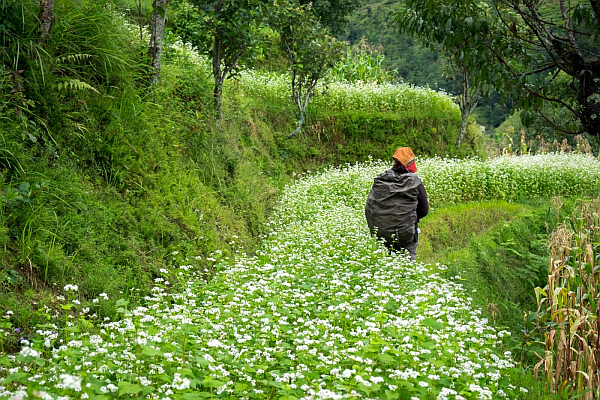 Hiking through flowers in Nepal