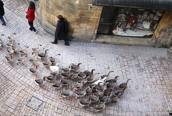 Geese in France